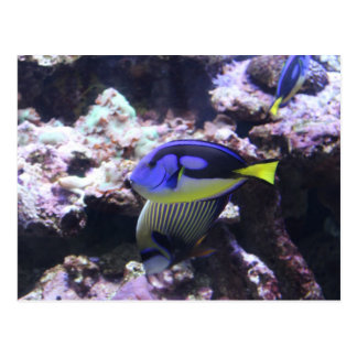 Regal Tang and Emperor Angelfish # 2 Postcard