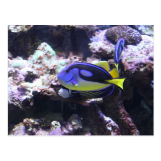 Regal Tang & Emperor Angelfish Postcard