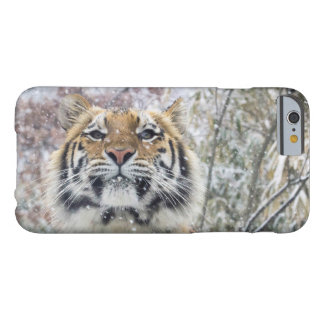 Regal Tiger in Snow Barely There iPhone 6 Case