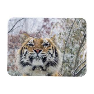 Regal Tiger in Snow Rectangular Photo Magnet