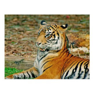 Regal Tiger Postcard