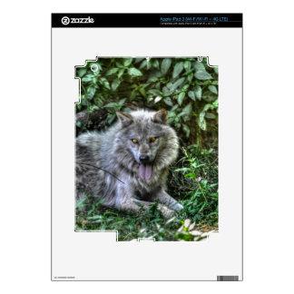 Regalo de reclinación de la fauna del lobo gris 3 pegatinas skins para iPad 3