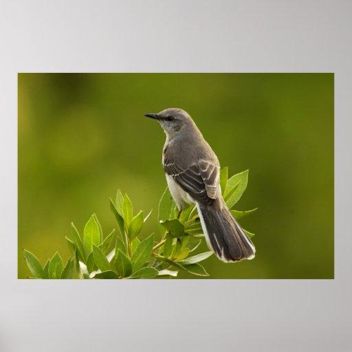 Regalos de los amantes del pájaro del Mockingbird Póster