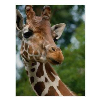 Regalos del arte de los amantes de la jirafa tarjeta postal