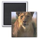 Regalos femeninos de los amantes del león de la le imán para frigorifico