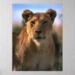 Regalos femeninos de los amantes del león de la le posters