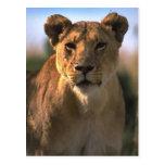 Regalos femeninos de los amantes del león de la le postales