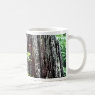 Regeneration of spruce, Lake St. Peter, Ontario, C Classic White Coffee Mug