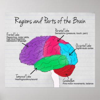 Regiones y partes del cerebro póster