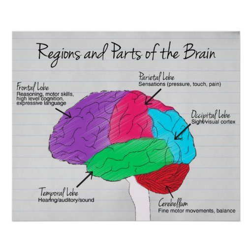 Classroom Design Psychology ~ Regions and parts of the brain poster zazzle