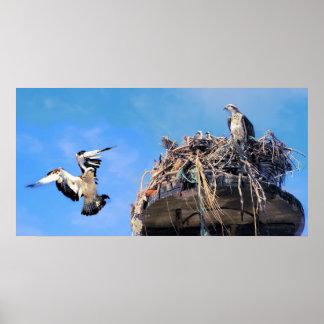 Regreso al hogar de la familia de Osprey Impresiones