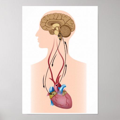 Regulation of blood pressure poster