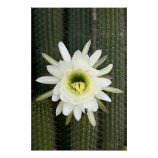 Reina de la flor del cactus de la noche, región poster