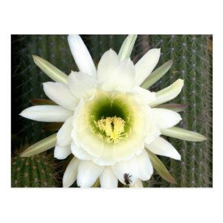 Reina de la flor del cactus de la noche, región tarjetas postales