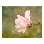 Reina de la magnolia impresion fotografica
