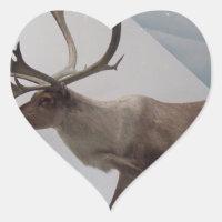 Reindeer; caribou
