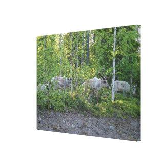 Reindeer in Lapland canvas print