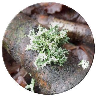 Reindeer Moss Lichen On Tree Branch Plate