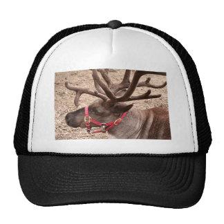 Reindeer near Anchorage, Alaska, USA Hats
