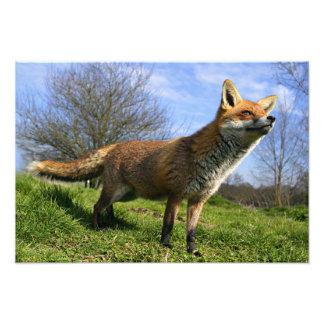 Reino Unido, Inglaterra. Vulpes del Vulpes del Fox Cojinete