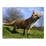 Reino Unido, Inglaterra. Vulpes del Vulpes del Fox Tarjetas Postales