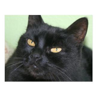 Relaxed Black Cat Portrait Postcard