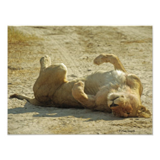 Relaxed Lion Photo Print