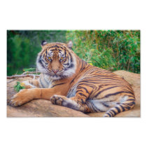 Relaxed Reclining Tiger Poster