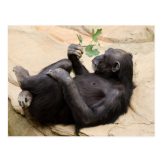 Relaxing chimpanzee postcard