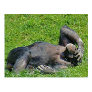 Relaxing Chimpanzee - Postcard
