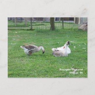 Relaxing Ducks Postcard postcard