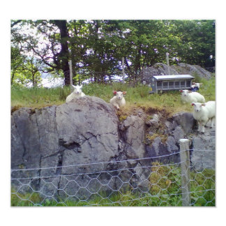 Relaxing Sheep Photograph