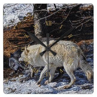 Reloj de la fauna de los lobos grises que lucha