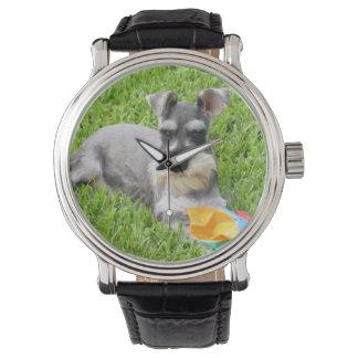Reloj del Schnauzer miniatura