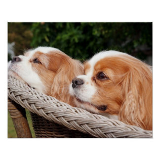 Renae and Joey Cavalier Spaniels Poster