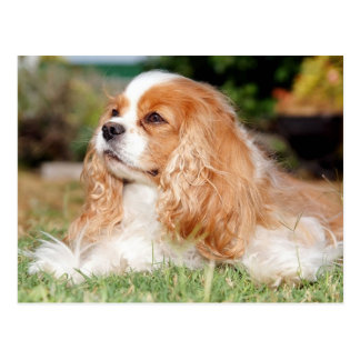Renae puppy Cavalier King Charles Spaniel Postcard