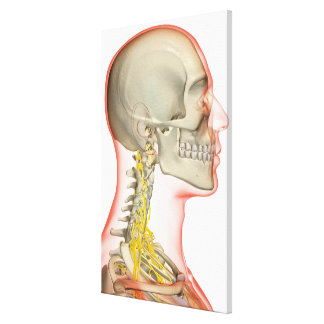 Rendering of the nerves of the neck canvas print