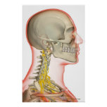 Rendering of the nerves of the neck poster