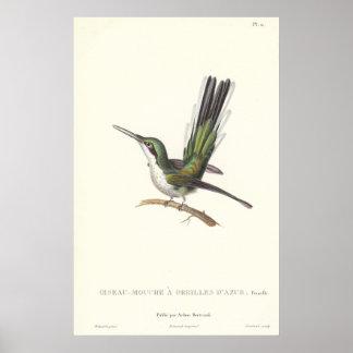Rene Primevere Lesson - Reproduction Hummingbird Poster