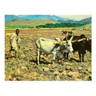 Replica  Vintage Ethiopia, Cattle pulling plough Postcard