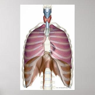 representación 3d del sistema respiratorio póster
