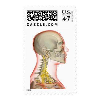 Representación de los nervios del cuello sello postal