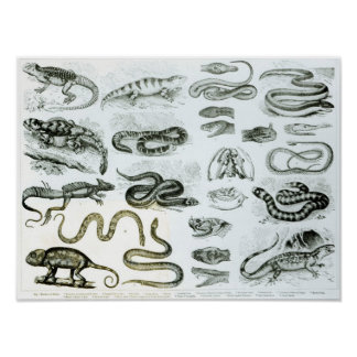 Reptiles, Serpents and Lizards Poster