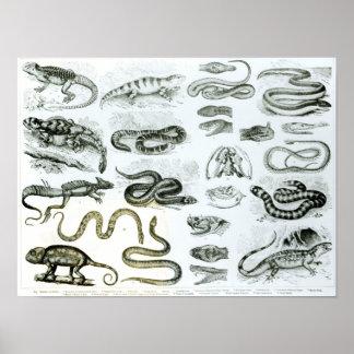 Reptiles, serpientes y lagartos impresiones