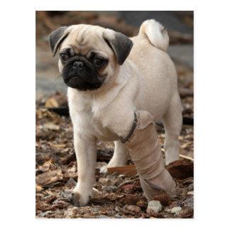 Rescue Pug Postcard