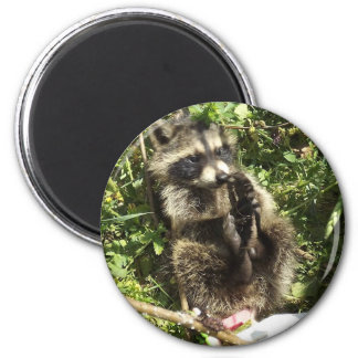 Rescued & Rehabilitated Raccoon Baby 2 Inch Round Magnet