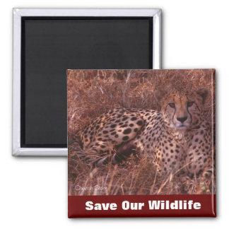 Reserva de la mirada fija del guepardo nuestra fau imán cuadrado