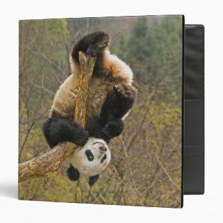 "Reserva de la panda de Wolong, China, 2 1/2 año Carpeta 1 1/2"""