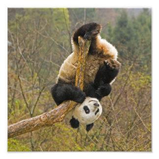 Reserva de la panda de Wolong, China, 2 1/2 año Fotografía