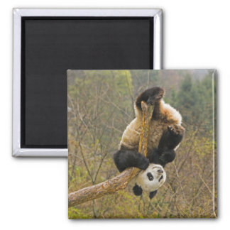 Reserva de la panda de Wolong, China, 2 1/2 año Imán Cuadrado